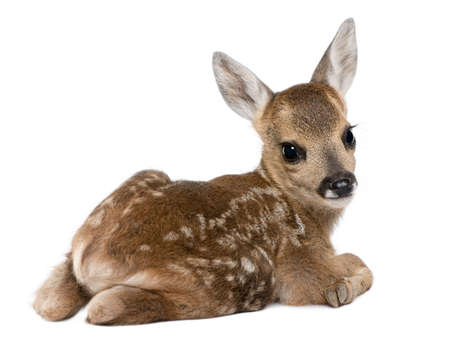 hjort: roe deer Fawn - Capreolus capreolus (15 days old) in front of a white background