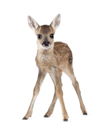 hjort: Portrait of Roe Deer Fawn, Capreolus capreolus, 15 days old, standing against white background, studio shot