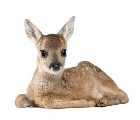 Portrait of Roe Deer Fawn, Capreolus capreolus, 15 days old, sitting against white background, studio shot Stockfoto