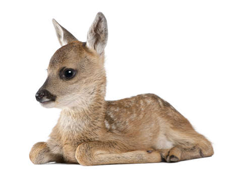 fawn: roe deer Fawn lying down - Capreolus capreolus (15 days old) in front of a white background