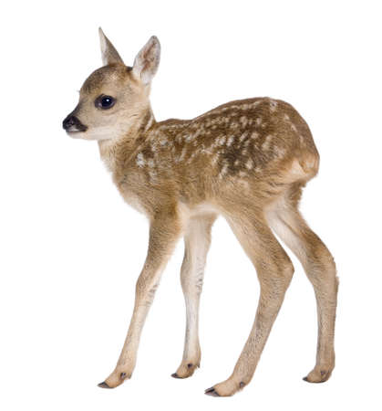 backview: roe deer Fawn - Capreolus capreolus (15 days old) in front of a white background