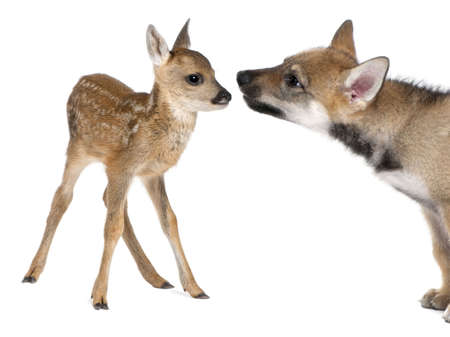 interplay: interplay between roe deer Fawn (15 days old) and Eurasian Wolf (40 days old) in front of a white background
