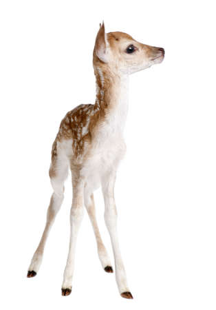 fawn: Fallow Deer Fawn - Capreolus capreolus (5 days old) in front of a white background