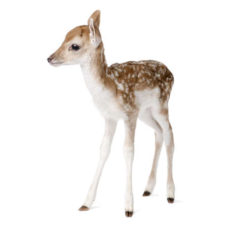 fawn: Side view of Fallow Deer Fawn, Dama dama, 5 days old, standing against white background, studio shot Stock Photo