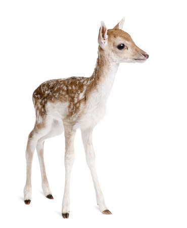 fallow deer: Side view of Fallow Deer Fawn, Dama dama, 5 days old, standing against white background, studio shot Stock Photo