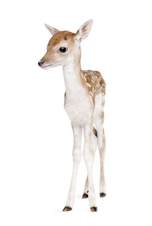 Fallow Deer Fawn, Dama dama, 5 days old, standing against white background, studio shot Stock Photo - 5570149