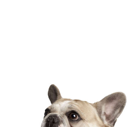 cropped shots: Cropped view of French bulldog in front of white background, studio shot  Stock Photo