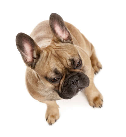 High angle view of French bulldog in front of white background, studio shot