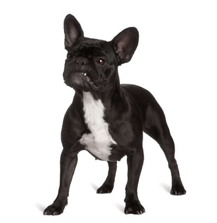dog : french Bulldog, black, looking up, standing in front of a white background  photo