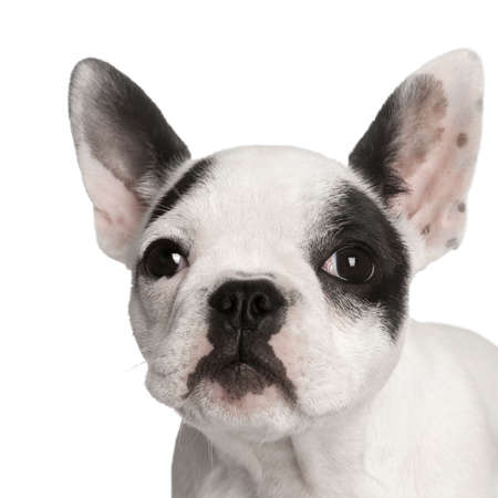 Portrait of French bulldog in front of white background, studio shot  photo