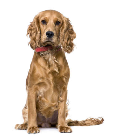 gundog: Cocker Spaniel (1 years old), sitting  in front of a white background