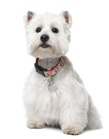 West Highland White Terrier (2 yeard old) sitting in front of a white background Stock Photo - 5570336