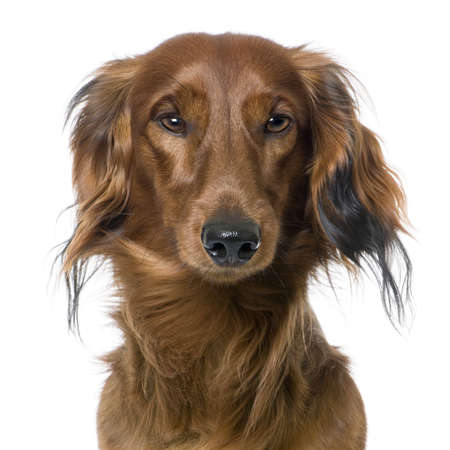 surprised dog: close-up on a dogs head, Dachshund, front view, staring at the camera (1 year old) in front of a white background