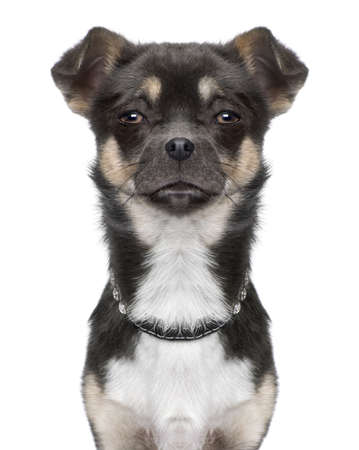 enhancement: Dog: chihuahua, close-up, front view, looking at the camera in front of a white background (Digital enhancement)