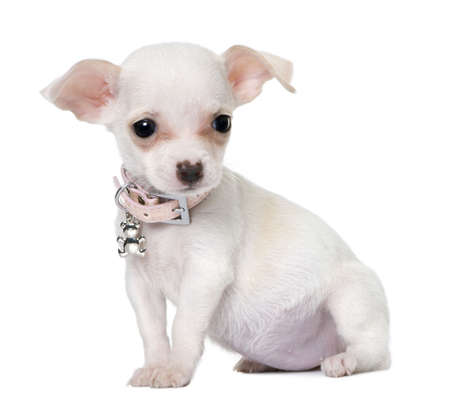 minuscule: cute chihuahua puppy (3 month old) in front of a white background
