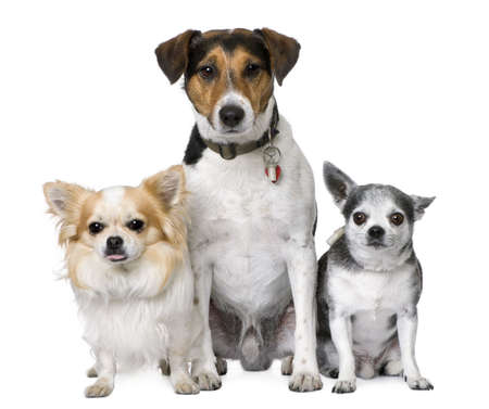 Goupe of dog: two chihuahua and a Jack russell sitting in front of a white background photo