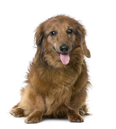 sightless: old sightless dog sitting : Dachshund (15 years old) in front of a white background