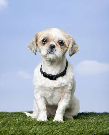 pekingese: Mixed-Breed Dog between a shih-tsu and a pekingese (4 years old) on grass against blue sky  Stock Photo