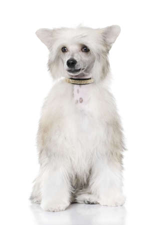 groomed Chinese Crested Dog sitting - Powderpuff (6 month old) in front of a white background photo