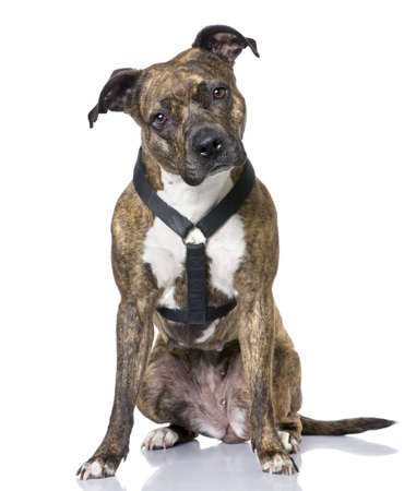 American Staffordshire terrier (4 years old) sitting in front of a white background photo