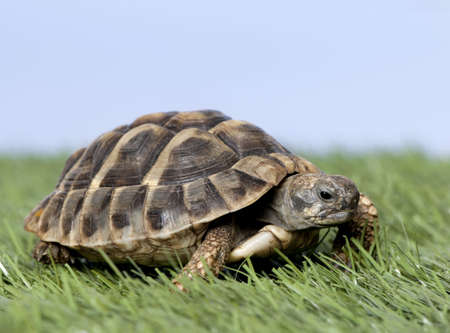 green turtle: Turtle on grass against a blue sky
