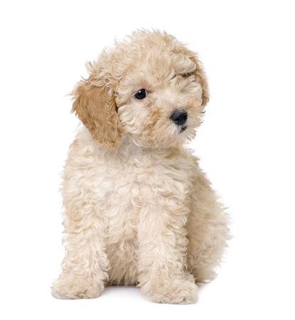 perro: juguete albaricoque Poodle cachorro emplazamiento (9 semanas de edad) delante de fondo ablanco