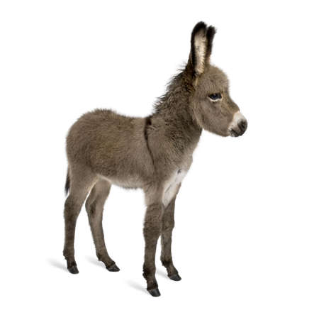 donkey: Side view of donkey foal, 2 months old, standing against white background, studio shot Stock Photo