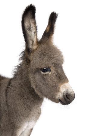 burro: Close-up en cabeza del potro de un burro (2 meses) delante de un fondo blanco