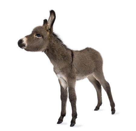 burro: burro potro (2 meses) delante de un fondo blanco Foto de archivo