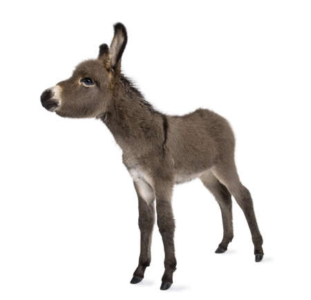 donkey foal (2 months) in front of a white background photo