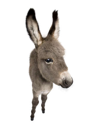 wideangle: wide-angle view of a donkey foal (2 months) in front of a white background