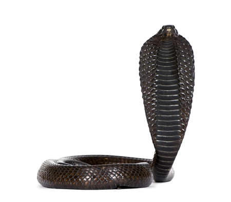 cobra: Portrait of Egyptian cobra, Naja haje, against white background, studio shot
