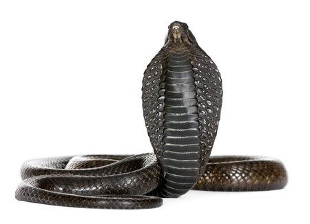 poison snakes: Egyptian cobra - Naja haje in front of a white background