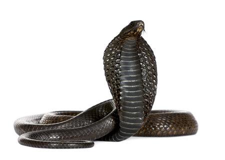 cobra: Egyptian Cobra, Naja Haje, against white background, studio shot
