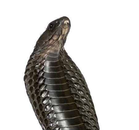 egyptian cobra: Close-up del naja Haje, Naja haje, su sfondo bianco, foto