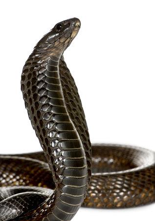 egyptian cobra: Close-up del naja Haje, Naja haje, su sfondo bianco, studio shot