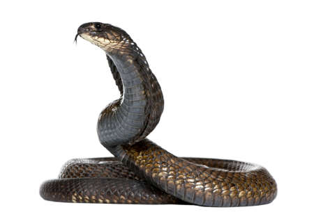 menacing: Egyptian cobra - Naja haje in front of a white background