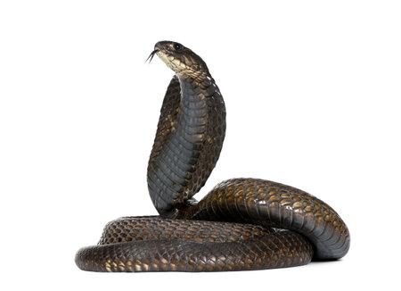 cobra snake: Side view of Egyptian cobra, Naja haje, against white background, studio shot Stock Photo