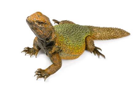 pet photography:  Uromastyxin front of a white background