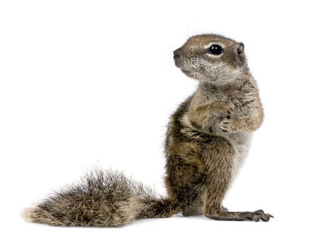 rodents: Barbary Ground Squirrel (Atlantoxerus getulus) in front of a white background Stock Photo