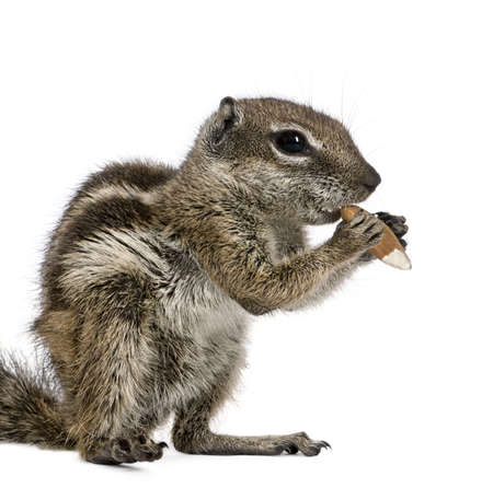 barbary: Barbary Ground Squirrel eating nut, Atlantoxerus getulus, against white background, studio shot