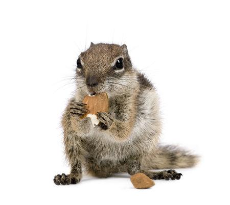 Barbary Ground Squirrel eating nuts, Atlantoxerus getulus, against white background, studio shot Stock Photo - 5570129