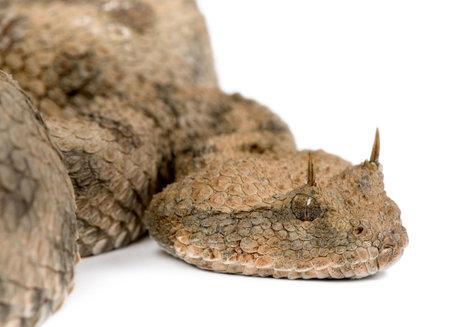 horned: Saharaui de v�bora de cornudo - cerastes de Cerastes delante de un fondo blanco