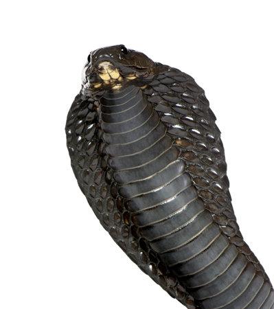 snakeskin: Egyptian cobra - Naja haje in front of a white background