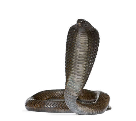 egyptian cobra: Ritratto di Haje, Naja haje, su sfondo bianco, foto