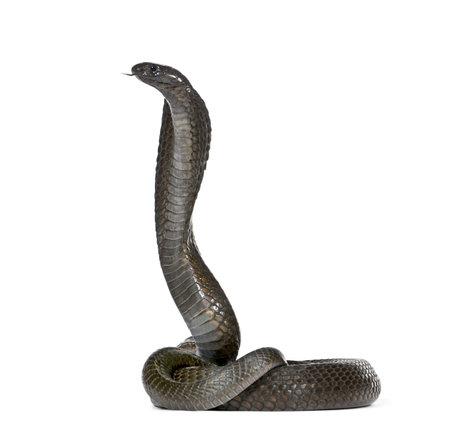 egyptian cobra: Vista laterale del cobra egiziano, haje Naja, contro sfondo bianco, studio shot