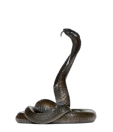 egyptian cobra: Naja haje - Naja haje davanti a uno sfondo bianco