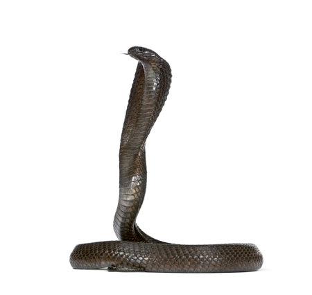 Vista lateral de la cobra egipcia, haje Naja, contra el fondo blanco, foto de estudio Foto de archivo - 5569767