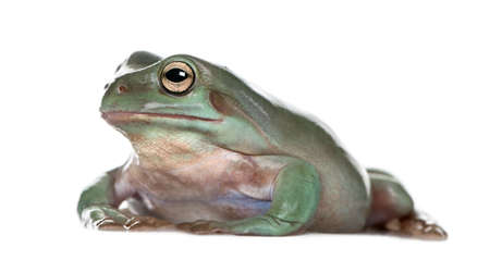Side view of Australian Green Tree Frog, Litoria caerulea, against white background, studio shot photo