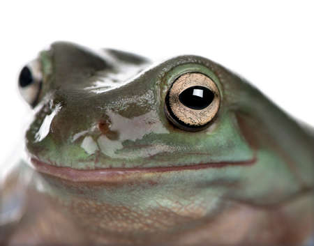 amphibia: Close-up of Australian Green Tree Frog, Litoria caerulea, studio shot Stock Photo
